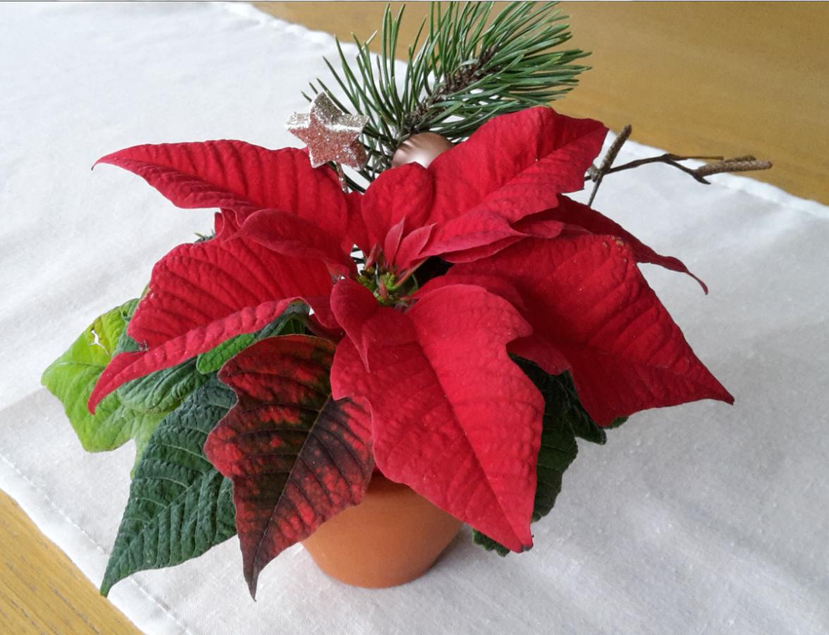 weihnachtsstern-ausschnitt