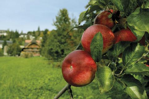 red organic apples on tree on a swiss apple farm